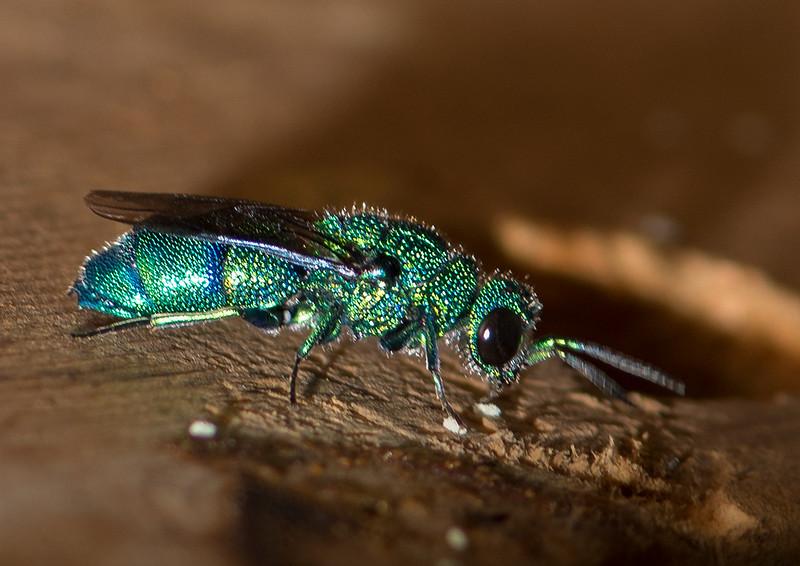 Metalic Green Bee ( Agapostemon)