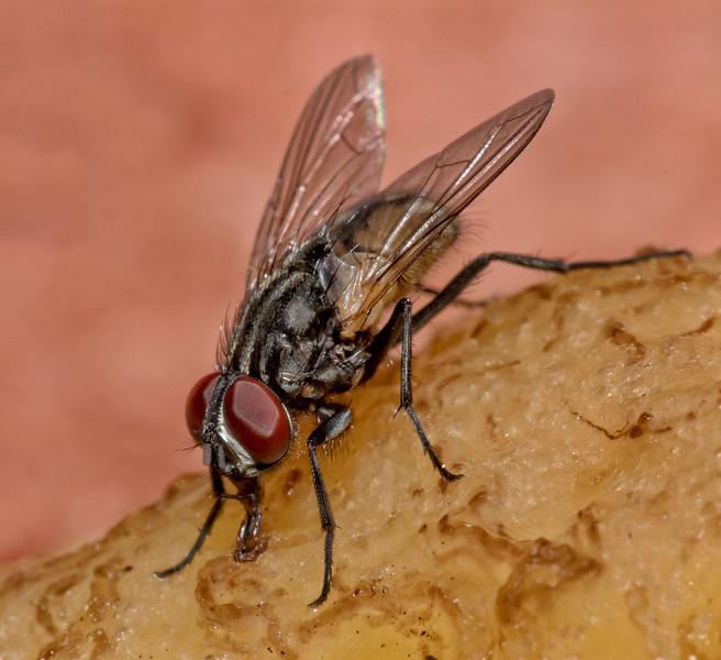 Fly eating banana