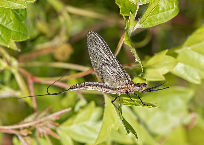 Willowfly
