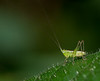 Wingless Meadow Katydid