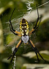 Black and Yellow Argiope female spider.<br />  <br /> Argiope aurantia