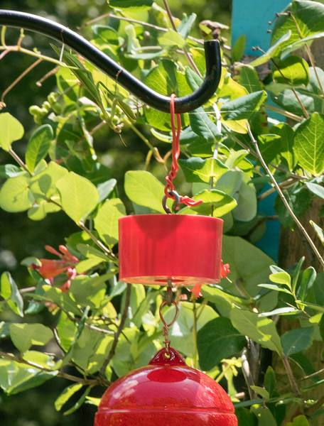 Praying Mantis on the Hummingbird feeder. I moved it to a different area with Golden Rod and Banded Wasps