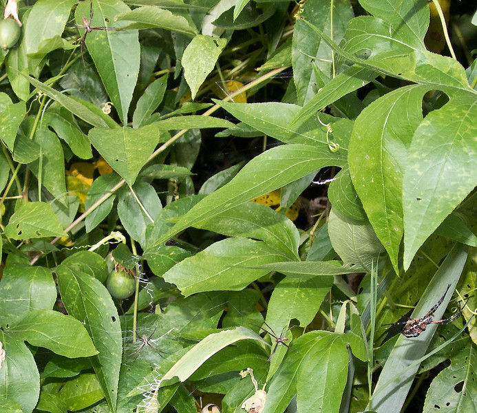 Three male and a female Black and Yellow Garden Spiders
