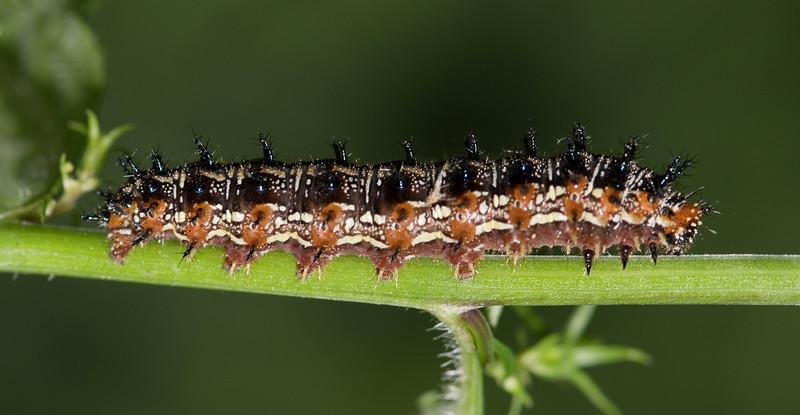 Common Buckeye caterpillar (Junonia coenia)