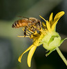 Honeybee on Rosinweed