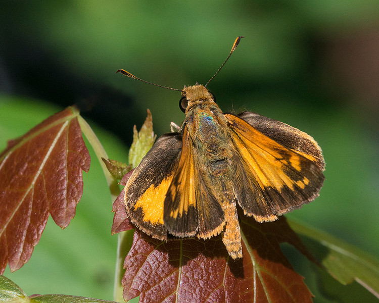 Zabulon Skipper male