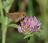 Little Glassywing Skipper (Pompelus verna)