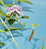 Gulf Fritillary Butterfly caterpillar and host plant the Passionflower (Passiflora incarnata)