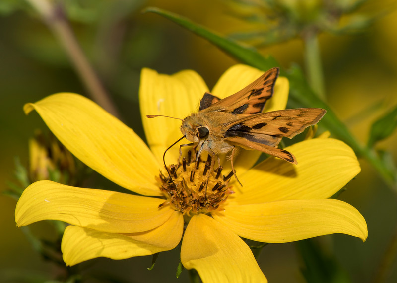 Whirlabout Skipper
