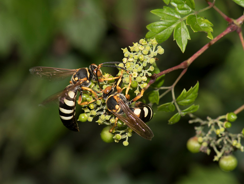 Cicida Killer Wasp