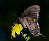 Tiger Swallowtail female black form