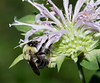 Bumblebee on Bee Balm