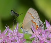 Bee and Red-banded Hairstreak