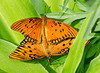 Gulf Fritillary Butterflies mating