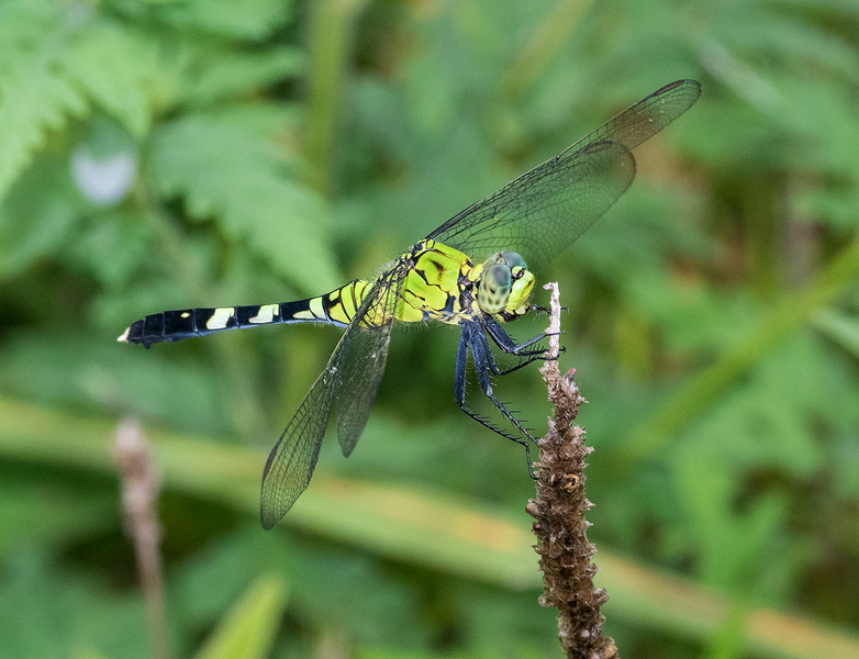 Eastern Pondhawk female male