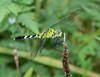 Eastern Pondhawk female male
