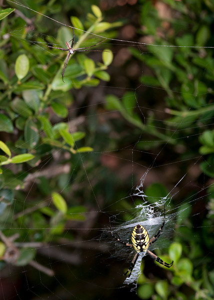 Black and Yellow Argiope male and female spiders.<br /> <br /> Argiope aurantia