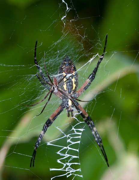 Male and female Black and Yellow Garden Spiders