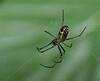 Mabel Orchard Spider (Leucauge venusta)