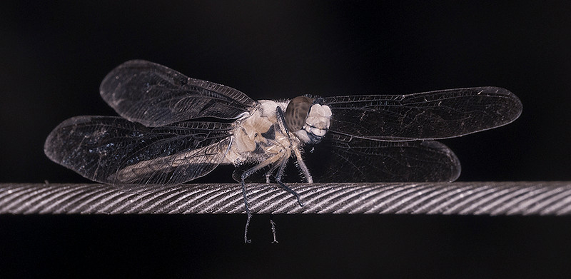 Dragonfly infrared