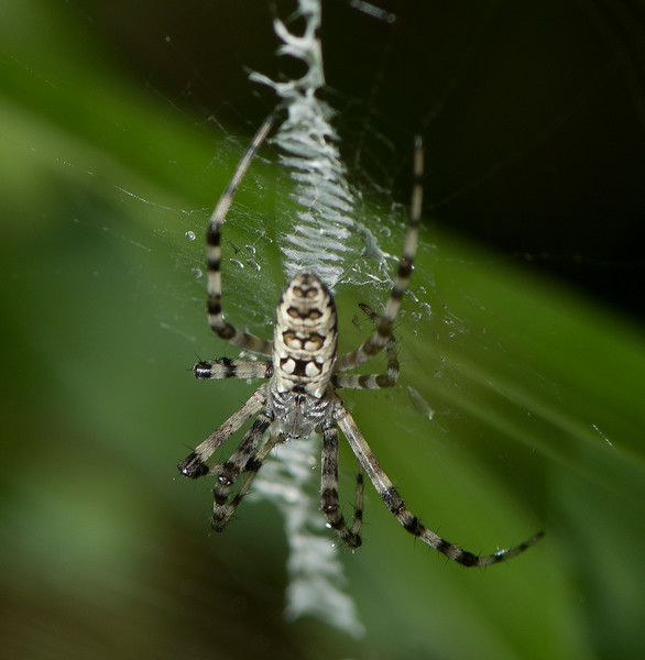 Black and Yellow Argiope juvenile