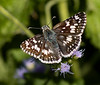 Common Checkered Skipper