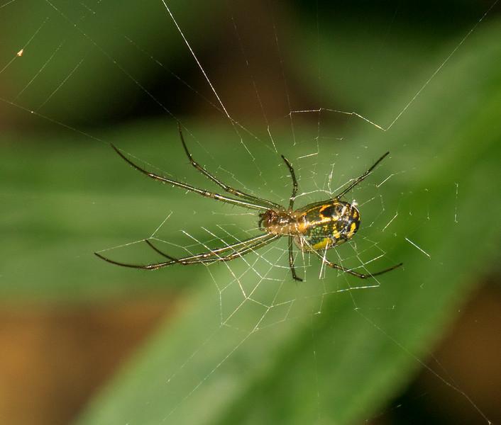Mabel Orchard Spider
