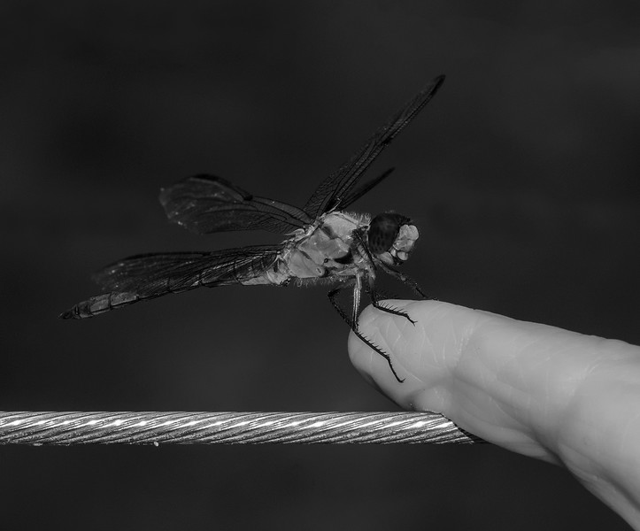 Dragonfly infrared converted to black and white  on my finger