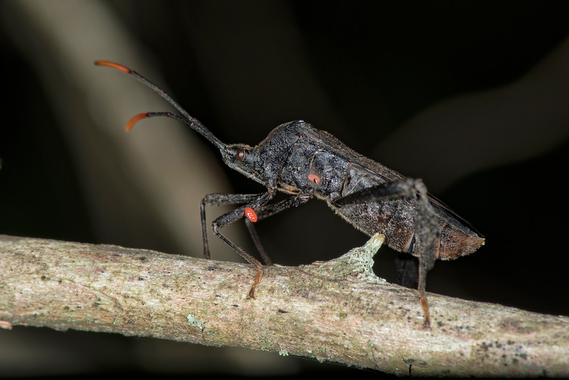 Leaf-footed Bug with a parisite egg on its leg