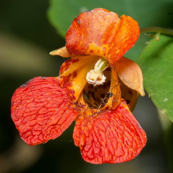 Ant on Jewelweed