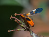 Milkweed Bug 4Sep2014
