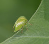 Tiny green jumping bug