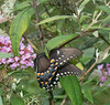 Look behind the Swallowtail for the Praying Mantis