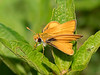 Southern Skipperling (Copaeodes minimus)