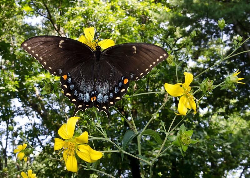 Eastern Tiger Swallowtail female dark form