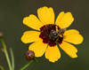 Bee on Garden Coreopsis