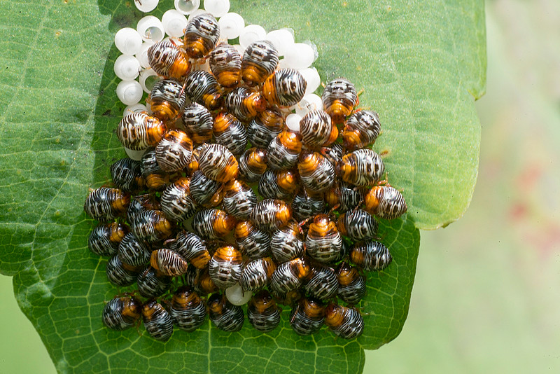 Southern Green Stink Bug nympths and eggs