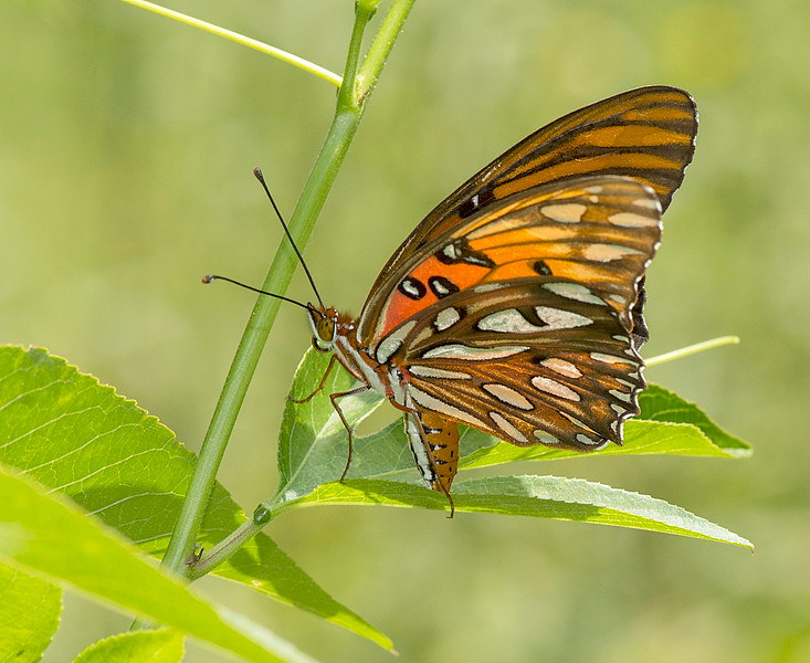 Gulf Fritillary laying an egg