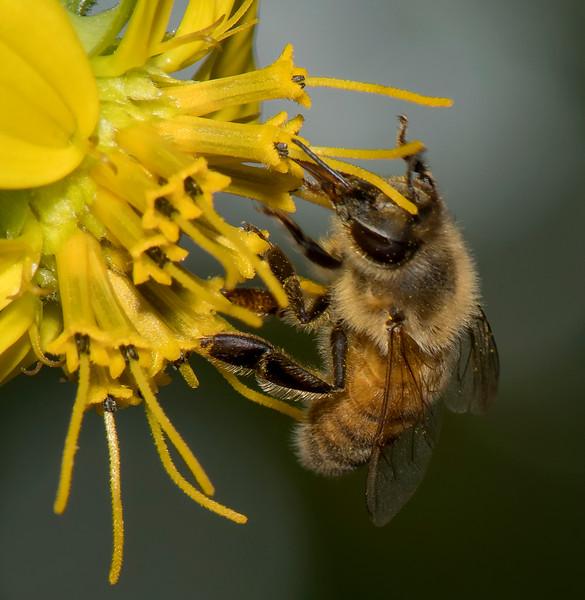 Honeybee on Rosinweed