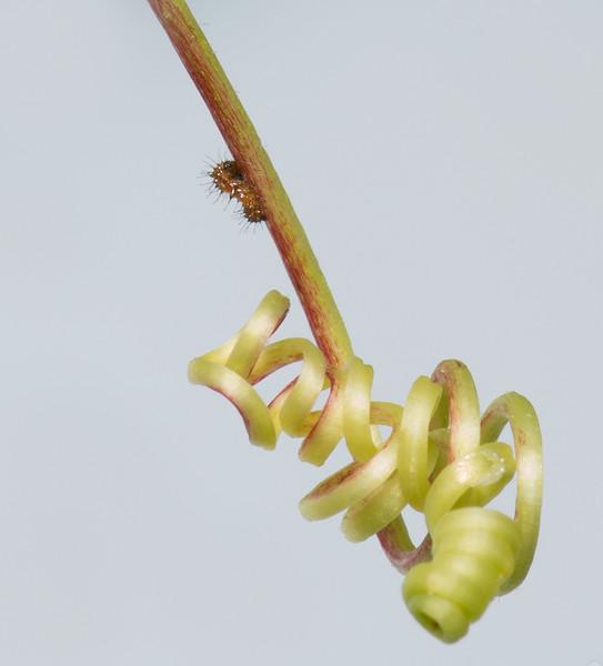 Gulf Fritillary Caterpillar just hatched