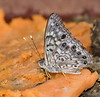 Hackberry Emperor on sweetpotato