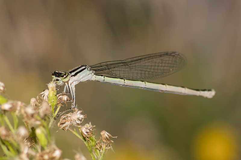 Black and White damselfly