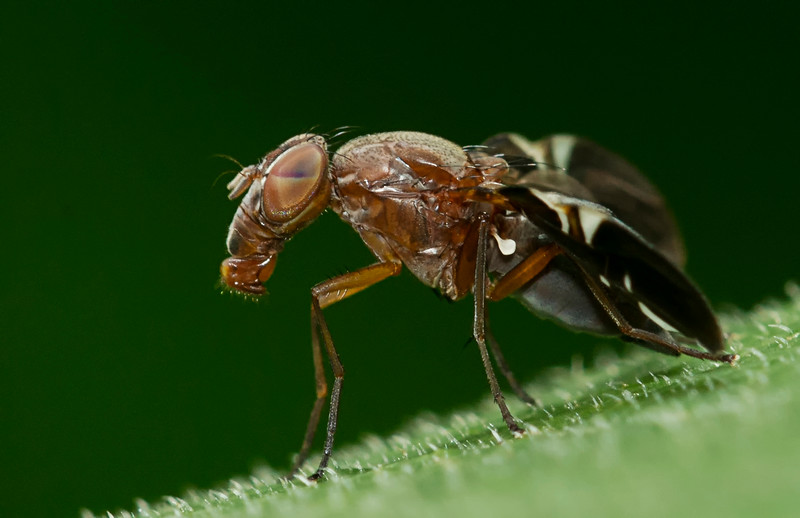 Picture-winged Fly (Delphinia picta)