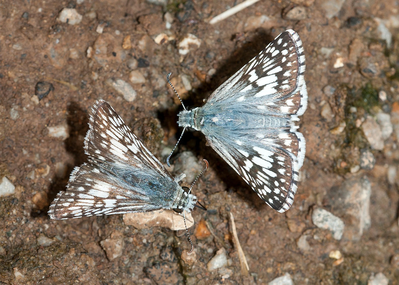 Common Checkered-Skippers