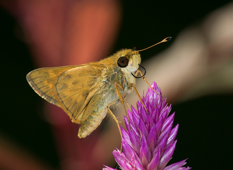 Scahem Skipper male