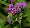 Longtailed Skipper on Ironweed