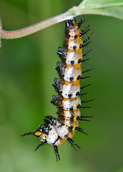 Gulf Fritillary Butterfly caterpillar getting ready to form a chrysalis