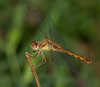 Autumn Meadowhawk female (Sympetrum vicinum)