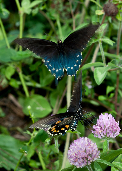 Pipevine Swallowtails