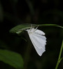 Fragile White Carpet Moth (Hydrelia albifera)